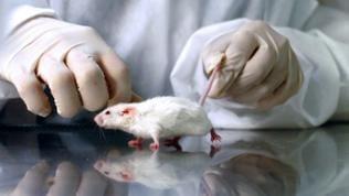 Tierversuch in einem Labor mit einer weißen Maus.
