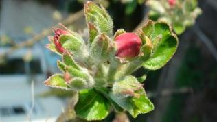 Blütenknospe am Apfelbaum