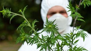 Ambrosiapflanzen werden vernichtet