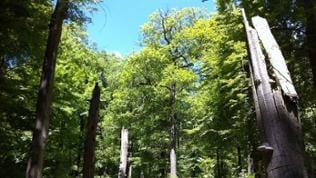 Tote Bäume im Hochwald