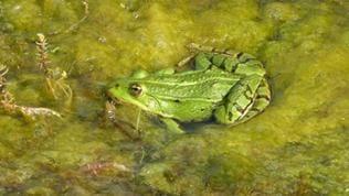 Grüner Frosch sitzt im Teich