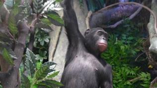 Bonobo im Staatlichen Museum für Naturkunde, Stuttgart