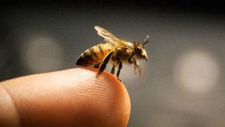 Biene, die sich auf einem Finger abgesetzt hat.