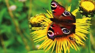 ein Schmetterling auf einer Löwenzahnblüte