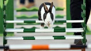 Ein Kaninchen springt über einen Übungsparcour