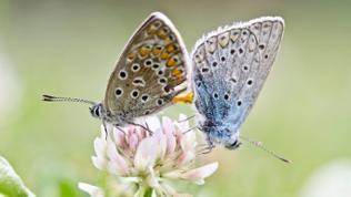 Ein männlicher (rechts) und ein weiblicher (weiblicher) Silbergrüner Bläuling sitzen auf einer Blüte