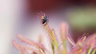 Insekt sitzt auf der Pflanze Sonnentau