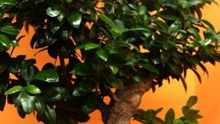 Ficus in Bonsai-Gestalt
