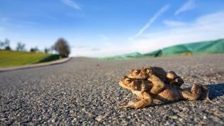 Kröten beim Überqueren einer Straße