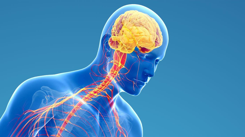 Niedlich Bilder Des Nervensystems Galerie - Menschliche Anatomie ...