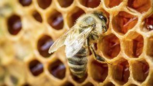 Eine Biene sitzt auf einer Bienenwabe