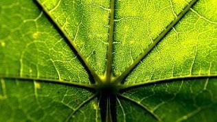 Detailaufnahme: Licht schimmert durch das Blatt einer Pflanze