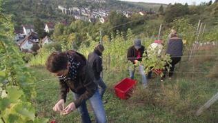 Männer und Frauen pflücken Weintrauben.