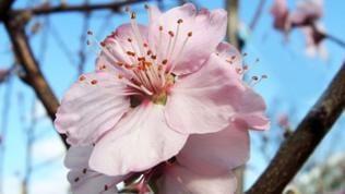 hellrosane Mandelblüte