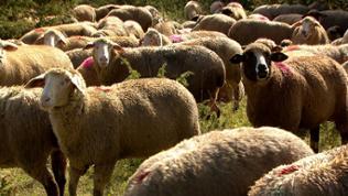 Schafe - einst wichtige Rohstofflieferanten für die Textilbetriebe auf der Alb