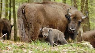 Die Wisent-Herde hat sich seit der Auswilderung stetig vergrößert. Derzeit leben 17 Tiere in Freiheit.