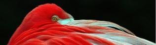 Halbschlafender Flamingo
