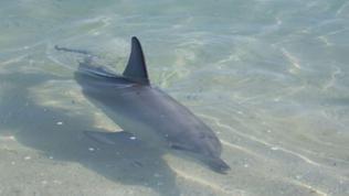 Delfin schwimmt in flachem Gewässer, Rückenflosse über dem Wasser