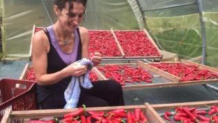 Frau reinigt Chilischoten, die in flachen Behältern geerntet werden