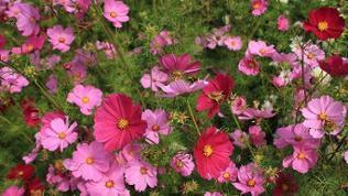Blühende Cosmea in einem Garten