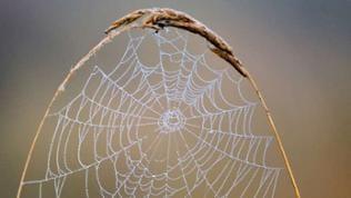 Lassen sich Spinnenfäden auch bald zur Reparatur von zerstörten Nervenfasern einsetzen?