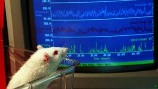 Bei einer Ratte werden über Monate Blutdruck-und Herzschlagdaten gemessen. Bei der Auswertung hilft ein Computer.