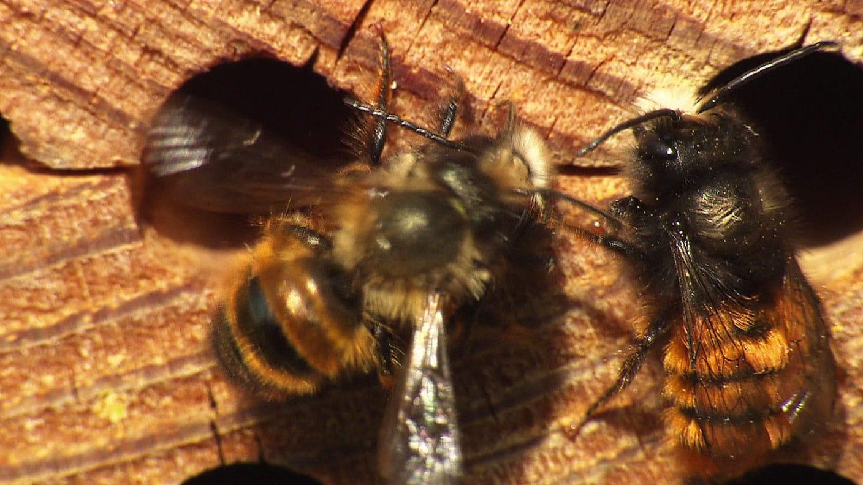 Fernsehbericht vom SWR über uns und den Einsatz von Mauerbienen als Bestäuber im Obstbau