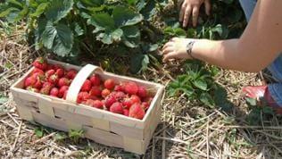 marktfrische Erdbeeren