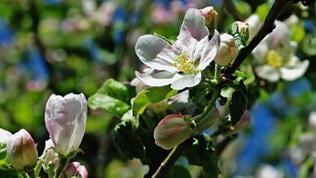 Apfelbaum in Schweden Asensbruk