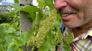 Frühe Weinblüte 2 - Heilbronn