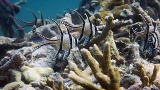Freilebende Banggai Kardinalfische