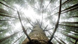 Die Fichte ist der Baum des Jahres 2017. Sie ist wegen kurzer Wurzel empfindlich gegen Trockenphasen.