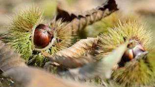 Die Edelkastanie findet sich in wärmeren Regionen, z.B. in der Pfalz.