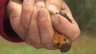 Ein Rotkehlchen in einer Hand