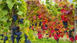 Herbstliche Weinreben