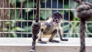 Affenbaby mit großen Augen