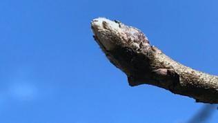 Apfelbaum Knospe  20. März