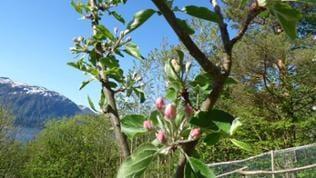 Apfelbaum Norwegen Eidsvag