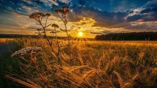 Sonnenuntergang über einem Getreidefeld