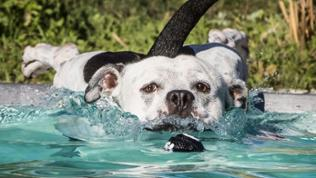 Hund springt in einen Swimming-Pool
