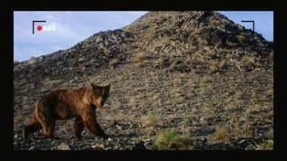 Kleiner brauner Bär blickt in Kamerafalle