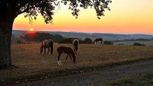 Pferde auf Wiese vor Sonnenaufgang
