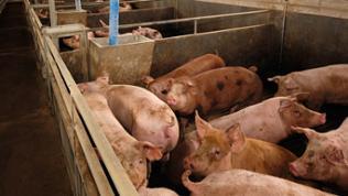 Zusammengepferchte Schweine in einem dreckigen kleinen Gehege eines Schweinestalls.