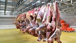 Rinderhälften hängen in einer Schlachterei an Haken nebeneinander von der Decke.
