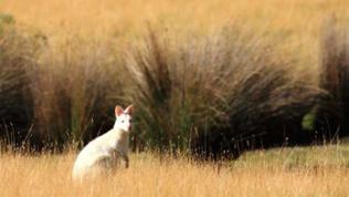 Ein Albino Wallaby im Gras