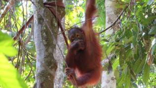 "Ein junger ""Waldmensch"" im Sepilok Orangutan Rehabilitation Center."