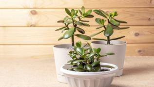 Geldbaum Zimmerpflanze im Topf