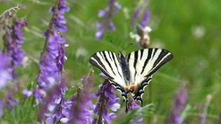 Schmetterling auf lila Blüte