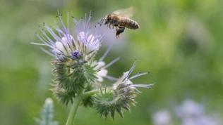 Biene fliegt die Blüte einer Bienenweide an