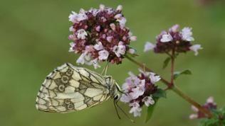 Schmetterling sitzt auf Thymianblüte